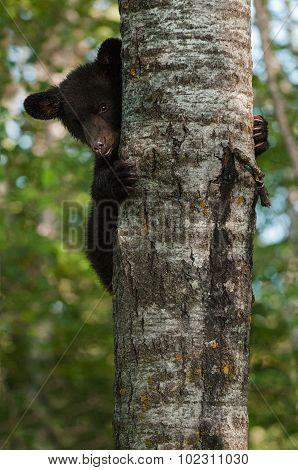 Young Black Bear (ursus Americanus) Peeks Around Tree Trunk