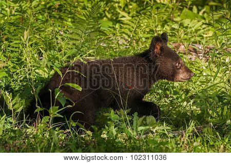 Young Black Bear (ursus Americanus) Runs Right Through Grass