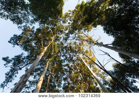 Looking Up Among Very High Eucalyptus Trees