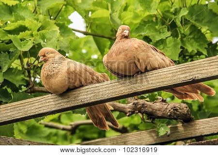 Beautiful doves