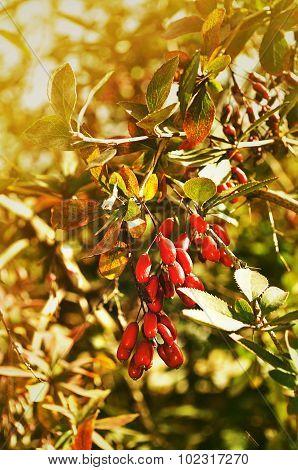 Red Barberry Berries - In Latin Berberis- Under The Sunlight