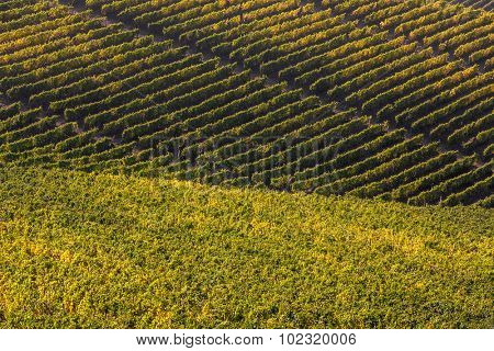 Rows of autumnal vineyard in Piedmont, Northern Italy.