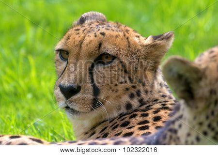 Cheetah Looking Around Closeup Portrait