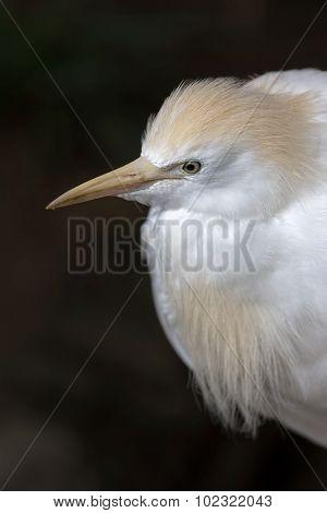Cattle Egret Closeup Portrait