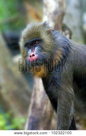 Mandrill Monkey Male