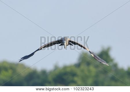 Head-on View Of Great Blue Heron