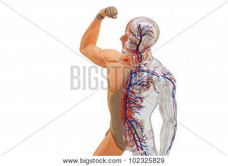 Isolated human anatomy model.