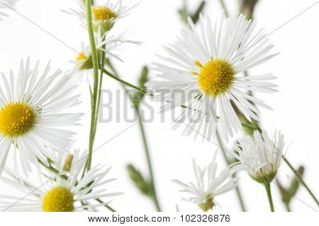 white chamomile flower on the white background.