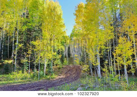 Rural Road Through The Yellow And Green Aspen During Foliage Season