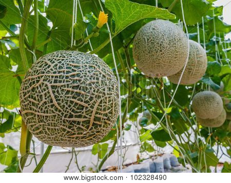 Cantaloupe Melons Growing In A Greenhouse Supported By String Melon Nets Stock Photo