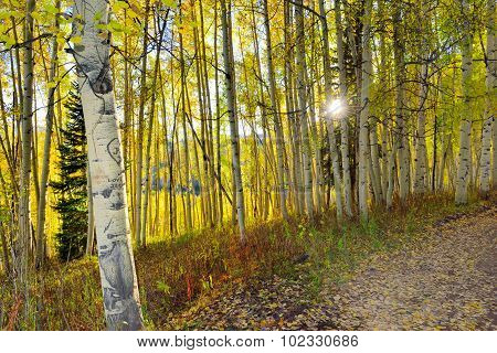 Sun Shining Through The Tall Yellow And Green Aspen In The Forest During Foliage Season