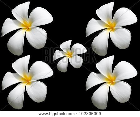 Frangipani Flower Or Plumeria Flower Isolated On Black Background