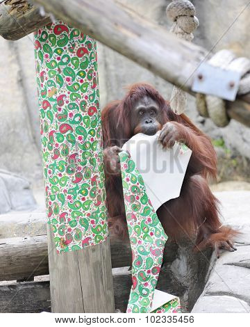 an adult orangutan contentedly chewing on red and green Christmas wrapping paper.