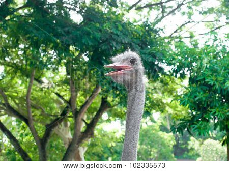 Head Of Ostrich In Forest