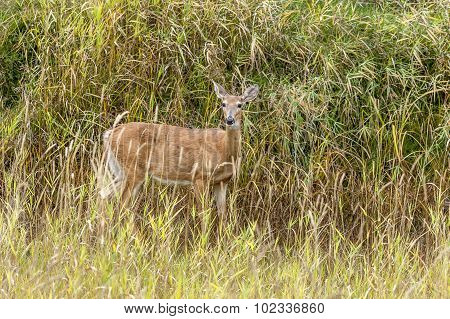 Deer In Grass Looks At Camera.