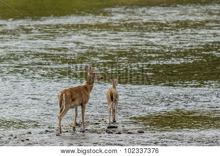 Mother Deer And Doe In Water.