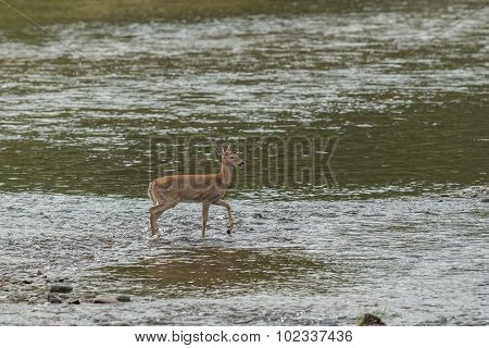 Doe In Shallow Water.