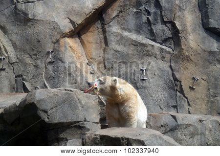 Polar Bear with a Bone
