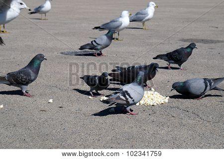 Pigeons and Gulls