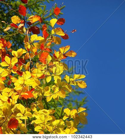 Beautiful autumn border, dry yellow tree leaved on bright blue sky background, autumnal sunny day, beauty of fall season