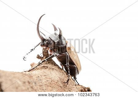 Eupatorus Gracilicornis Or Hercules Beetles