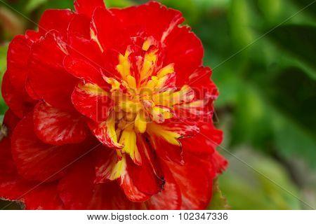 Macro Of Flowers Begonia