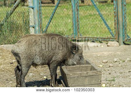 Hog Trough To Eat