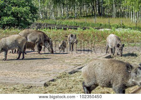 Hog Family