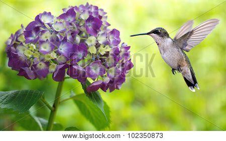 Hummingbird Hovering On Hydrangea