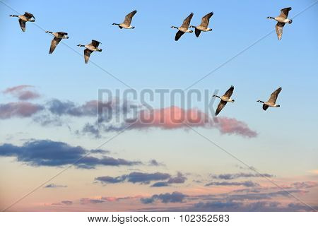 Canada Geese Flying Over A Sunset Sky