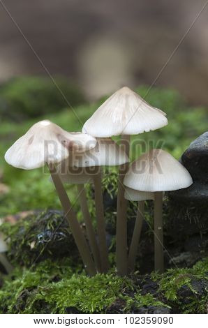 Mycena Galericulata Mushrooms