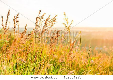 Beautiful Yellow Grass