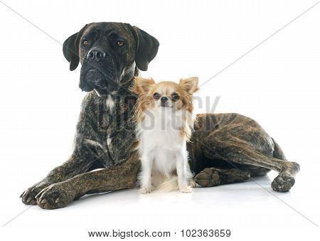 Italian Mastiff And Chihuahua
