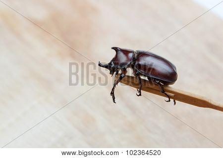 Big Unicorn Beetle On Wood