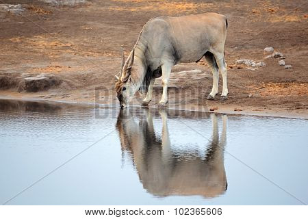 Large male eland antelope (Tragelaphus oryx) drinking at a waterhole, Etosha National Park, Namibia