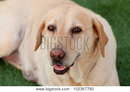 Nice golden labrador dog sitting on the grass