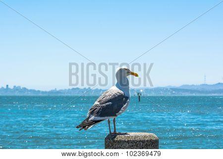 The seagull on the pole, Tiburon, California