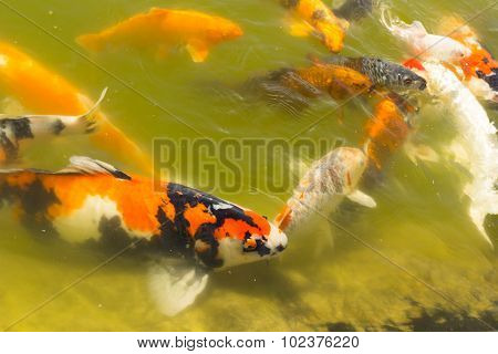Koi carps swimming