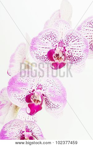 Purple And White Moth Orchids Close-Up