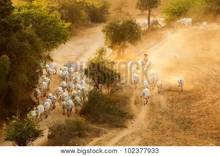Burmese Herder Leads Cattle Herd