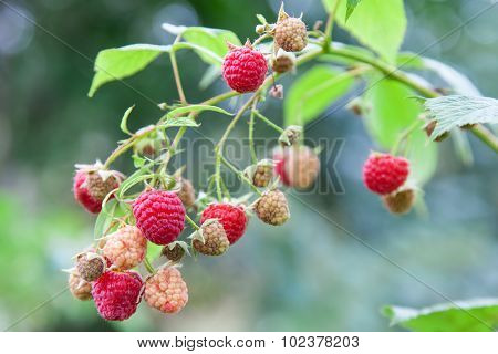 Red Raspberry On Branch Outdoors