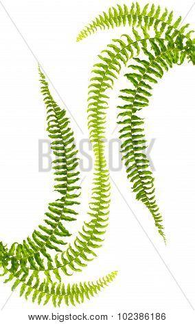 Ferns,