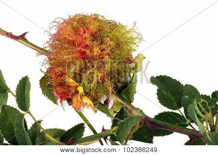 Rose Stem Wasp Gall
