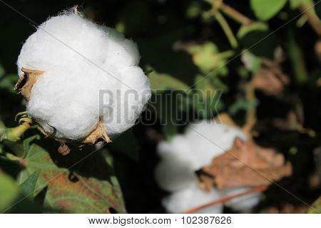 Flowers cotton in a cotton field