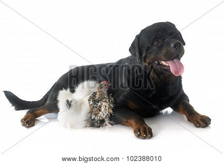 Rotweiler And Chicken