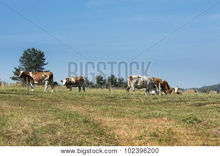 Cows In Sudety Mountains,