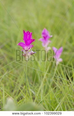 Curcuma Alismatifolia, Siam Tulip Or Summer Tulip