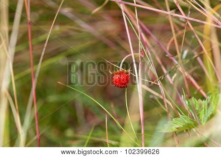 Berry of wild strawberry in the forest