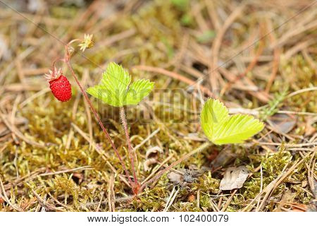 Berries of wild strawberry in the forest Bush. Fragaria