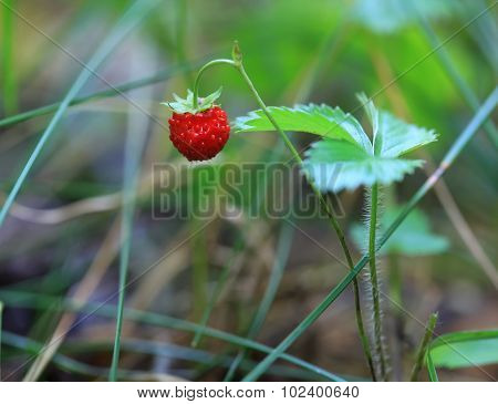 Single wild strawberry in the woods on bush.